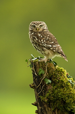 Little Owl (Athene noctua) perched on tree stump covered in moss. Worcestershire, England, UK. May 2013.