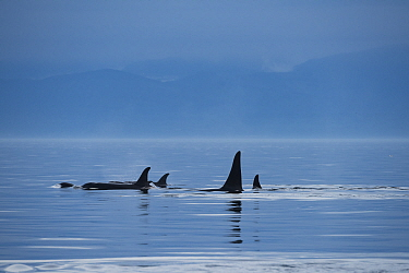 Killer whales / orca (Orcinus orca) southern resident family pod surfacing in evening. Southern Vancouver Island, British Columbia, Strait of Juan de Fuca, Canada. September.