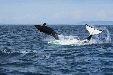 Killer whale / orca (Orcinus orca) southern resident juvenile breaches whilst adult tail slaps surface. Southern Vancouver Island, Strait of Juan de Fuca, British Columbia, Canada, September.