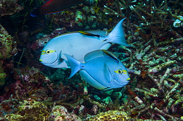 Elongate surgeonfish (Acanthurus mata) being cleaned by Black spot cleaner wrasse (Labroides pectoralis) and Bluestreak cleaner wrasse (Labroides dimidiatus). Indonesia.