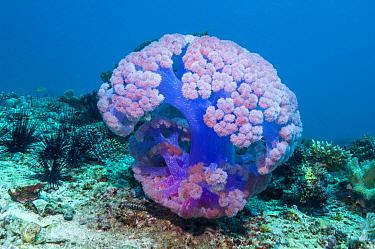 Soft coral (Dendronephthya sp.). Cebu, Malapascua Island, Philippines.