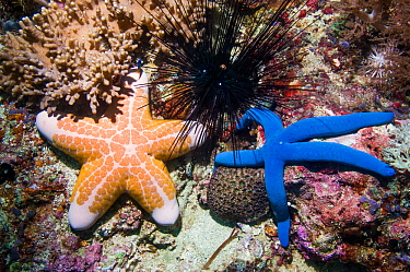 Blue starfish (Linckia laevigata) and Pink cushionstar (Coriaster granulatus) and Long spined urchin (Diadema setosum). Cebu, Malapascua Island, Philippines.