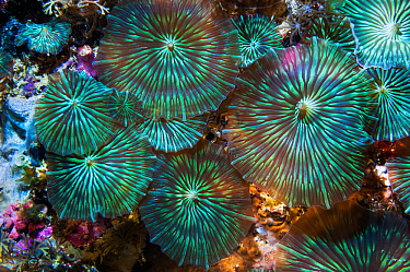Disk anemone (Discosoma sp.). Cebu, Malapascua Island, Philippines.