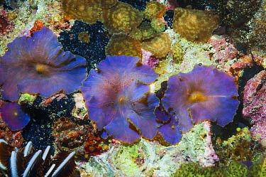 Disk anemone (Discosoma sp.) Cebu, Malapascua Island, Philippines.