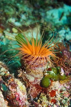 Tube anemone (Cerianthus sp.). Cebu, Malapascua Island, Philippines.