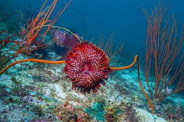 Crinoid or featherstar on coral reef, Malapascua Island, Philippines.