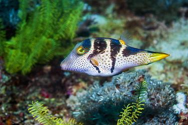 Valentino's sharp nosed puffer fish (Canthigaster vanlentini) Malapascua Island, Philippines.