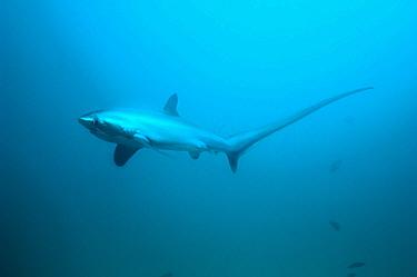 Thresher shark (Alopias pelagicus) swimming over seabed, Malaspascua, Philippines.