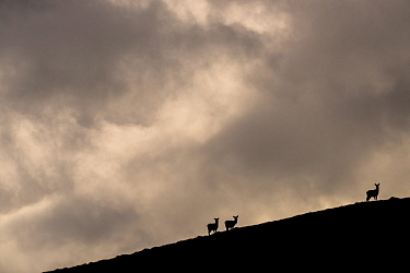 Red deer, (Cervus elaphus) silhouetted against sky, Jura, Scotland.
