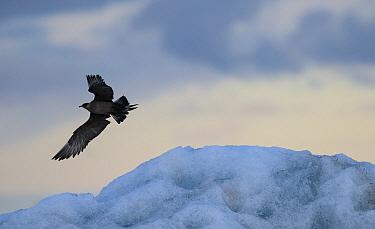 Arctic skua, (Stercorarius parasiticus) in flight, Iceland. July.