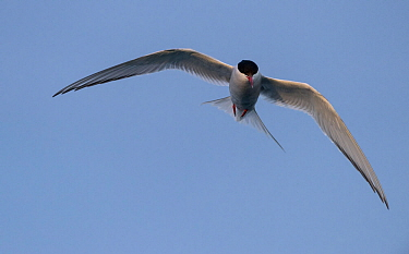 Arctic tern (Sterna paradisaea) in flight, Iceland, July.