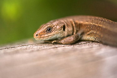 Viviparous or Common Lizard (Lacerta vivipara) basking on wood, Meeth, Devon,UK. June.