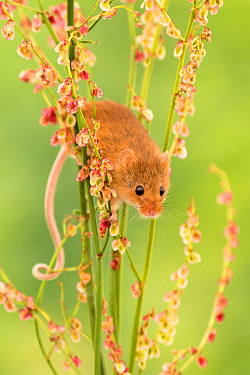 Harvest mouse (Micromys minutus) feeding on common sorrel (Rumex acetosa), Devon, UK (Captive). May.