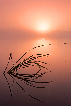 Reflected reeds and misty sunrise at Lower Tamar Lakes, Cornwall, UK. July .