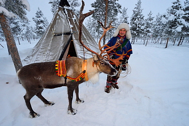 Sami man with Reindeer for sledding in - 25 C, Jukkasjarvi, Lapland, Laponia, Sweden. January 2016. Model released.