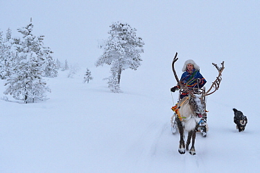 Reindeer sledding in - 25 C, Jukkasjarvi, Lapland, Laponia, Sweden. January 2016. Model released.