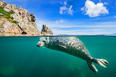 Young grey seal (Halichoerus grypus) swimming at surface beneath cliffs of Lundy Island, Devon, England, United Kingdom. British Isles. Bristol Channel. North East Altantic Ocean.