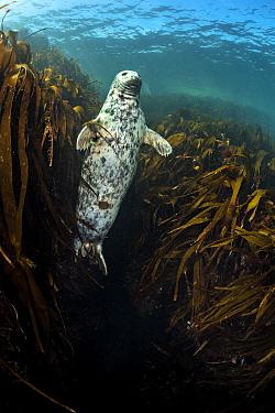 Female grey seal (Halichoerus grypus) hovering in gully of kelp (oarweed: laminaria: Laminaria hyperborea). Farne Islands, Northumberland, England, United Kingdom. British Isles. North Sea.