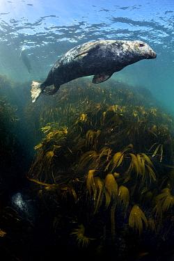 Male grey seal (Halichoerus grypus) swimming above kelp forest (oarweed: laminaria: Laminaria hyperborea). Farne Islands, Northumberland, England, United Kingdom. British Isles. North Sea.