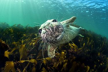 Curious young grey seal (Halichoerus grypus) over kelp. Farne Islands, Northumberland, England, United Kingdom. British Isles. North Sea.