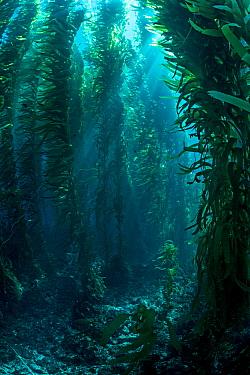 View through giant kelp (Macrocystis pyrifera) forest. Santa Barbara Island, Channel Islands. Los Angeles, California, United States of America. North East Pacific Ocean.