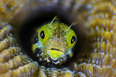 High magnification photo of Secretary blenny (Acanthemblemaria maria) in boulder brain coral (Colpophyllia natans). East End, Grand Cayman, Cayman Islands, British West Indies. Caribbean Sea.