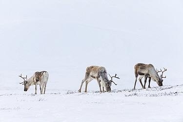 Wild Reindeer (Rangifer tarandus). Forollhogna National Park in February. Norway.