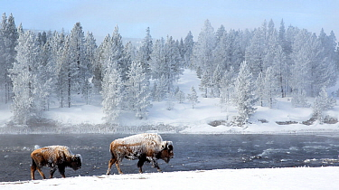 Bison (Bison bison) walking along river in hoar frost. Yellowstone National Park, USA. February