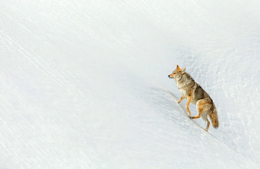 Coyote (Canis latrans) in snow, Yellowstone. February