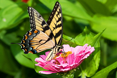 Eastern Tiger Swallowtail Butterfly (Papilio glaucus) nectaring on Zinnia in farm garden, wild and free. Essex, Connecticut, USA.