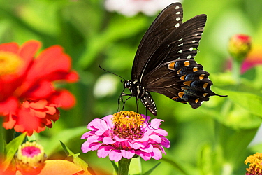 Spicebush Swallowtail Butterfly (Papilio troilus) nectaring on Zinnia in farm garden, wild and free. Madison, Connecticut, USA.