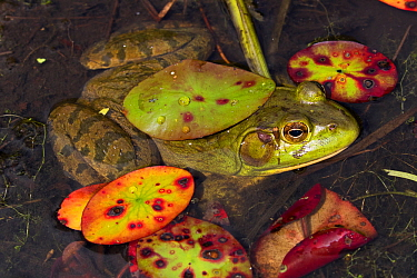 Bullfrog (Lithobates catesbeiana) in pond shallows, among late season lily pads, September. Connecticut, USA.