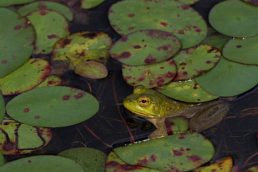Young Bullfrog (Lithobates catesbeiana) at edge of pond amongst late season lily pads, September, Connecticut, USA.