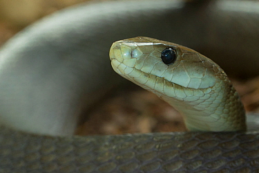 Black mamba (Dendroaspis polylepis) captive, occurs in Africa.
