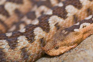 Sand or European horned viper (Vipera ammodytes) captive, occurs in Europe. Venomous species.