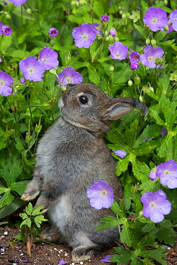 Baby Netherland dwarf rabbit standing among and sniffing cultivated Wild geraniums (Geranium maculatum). East Haven, Connecticut, USA.