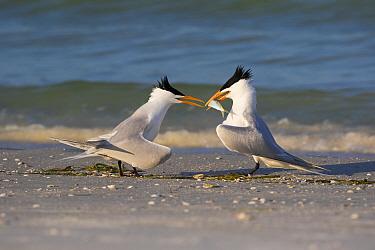 Royal tern (Thalasseus maxima) offering fish to female as part of courtship. Mullet Key, St Petersburg. Florida, USA.