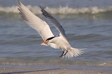 Royal tern (Thalasseus maximus) with fish, landing on beach. Mullet Key, St Petersburg. Florida, USA.