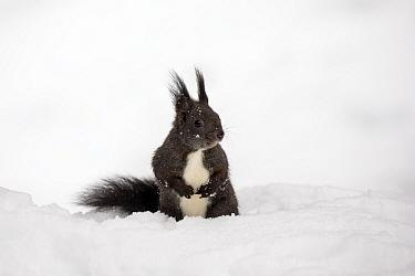 Red Squirrel (Sciurus vulgaris) in deep snow. Crans Montana, the Alps, Wallis, Switzerland. February.