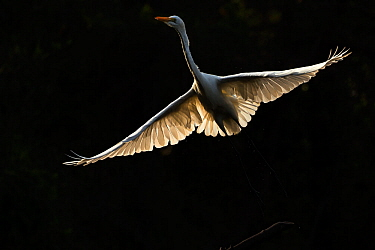 Great egret (Ardea alba) in flight, backlit. Gambia Africa. May 2016.