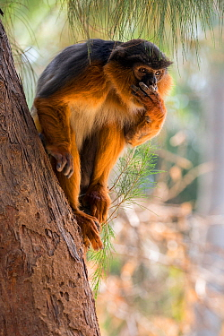 Western red colobus (Procolobus badius) portrait of an adult male. Gambia, Africa. May 2016.