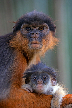 Western red colobus (Procolobus badius) female with small youngster. Gambia, Africa. May 2016.