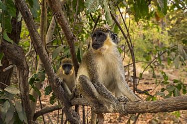 Green Monkey / Callithrix Monkey (Chlorocebus sabaeus) perched in a tree. Bijilo Forest Park, Kololi, Serrekunda, Gambia, Africa. May 2016.