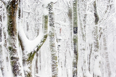 European / Common beech tree (Fagus sylvatica) trees covered in snow. Hohneck, Vosges, France. January.