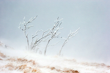 Branches of shrub covered in ice and frost during snowfall with heavy wind. Hohneck mountain, Vosges, France. January.