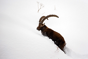 Alpine ibex (Capra ibex) male in deep snow Gran Paradiso National Park, the Alps, Italy. January