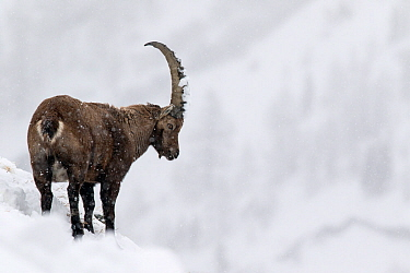 Alpine ibex (Capra ibex) male in deep snow on a ridge during heavy snowfall. Gran Paradiso National Park, the Alps, Italy. January.