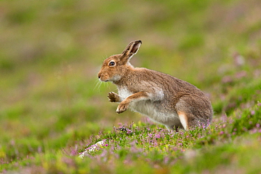 Mountain Hare (Lepus timidus) shaking after grooming, summer pelage. Scotland, UK.