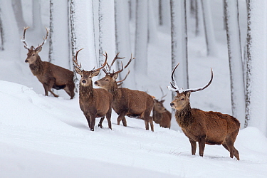 Red Deer (Cervus elaphus) group of stags in snow-covered pine forest Scotland, UK. December.