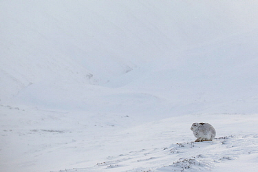 Mountain Hare (Lepus timidus) resting on snow in wintry habitat, Scotland. UK, January.